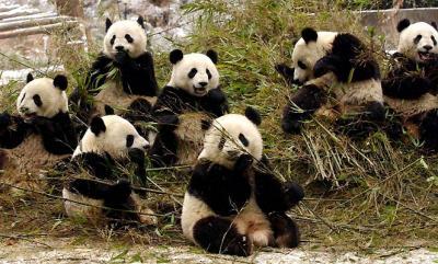 Ponen películas porno a una pareja de osos panda para que se animen a procrear