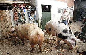 Una pareja ribeirense es dueña de dos cerdos gigantes de 400 kilos